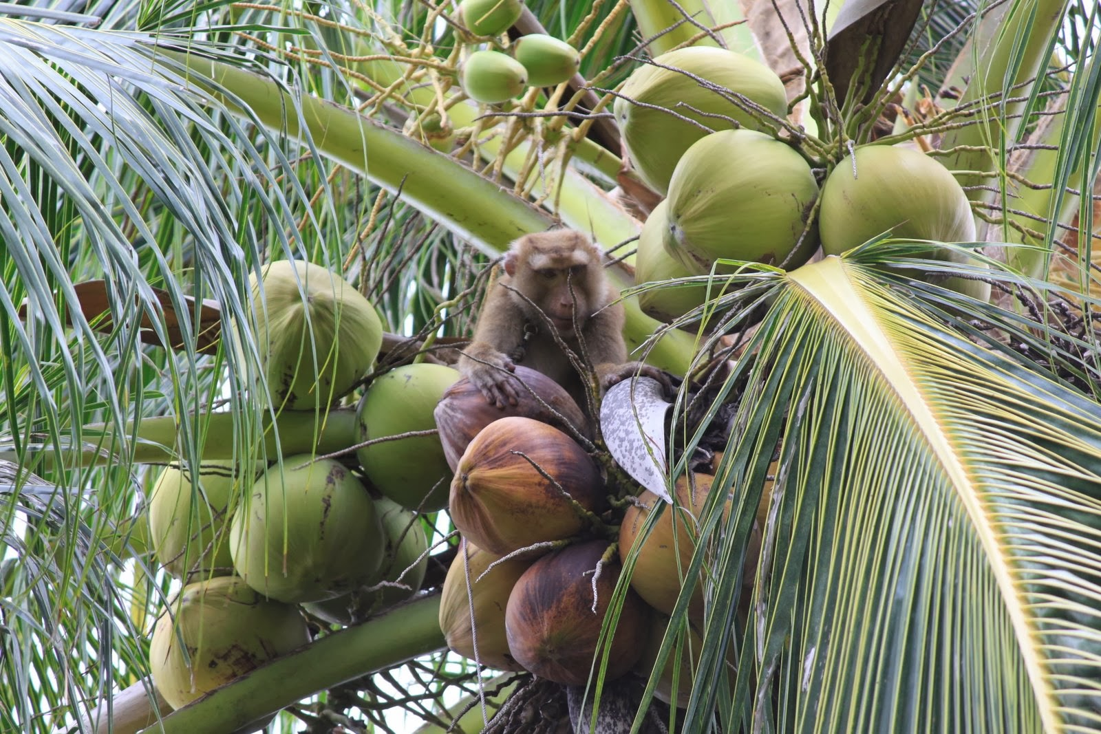 Monkeys Picking Coconuts On The Trees